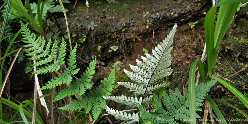silver back fern