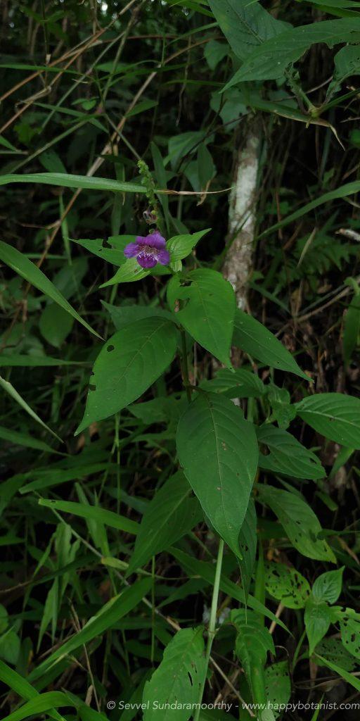Asystasia dalzelliana plant