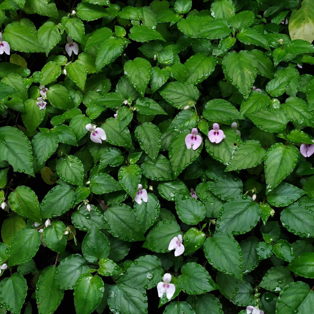 A mosaic of beautiful Impatiens elegans leaves and flowers!