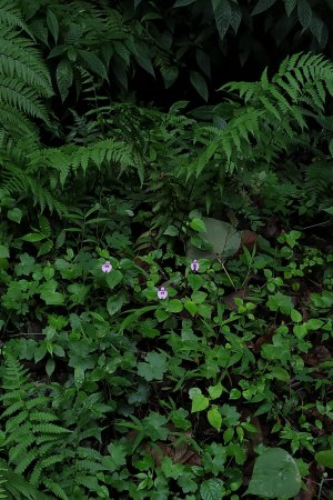 Impatiens elegans among ferns!