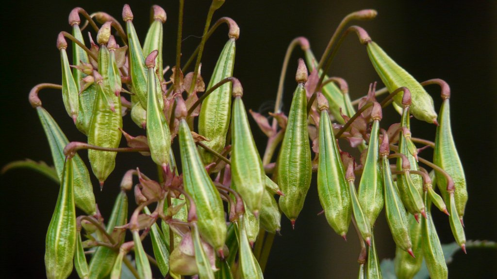 Seed pods of Impatiens glandulifera