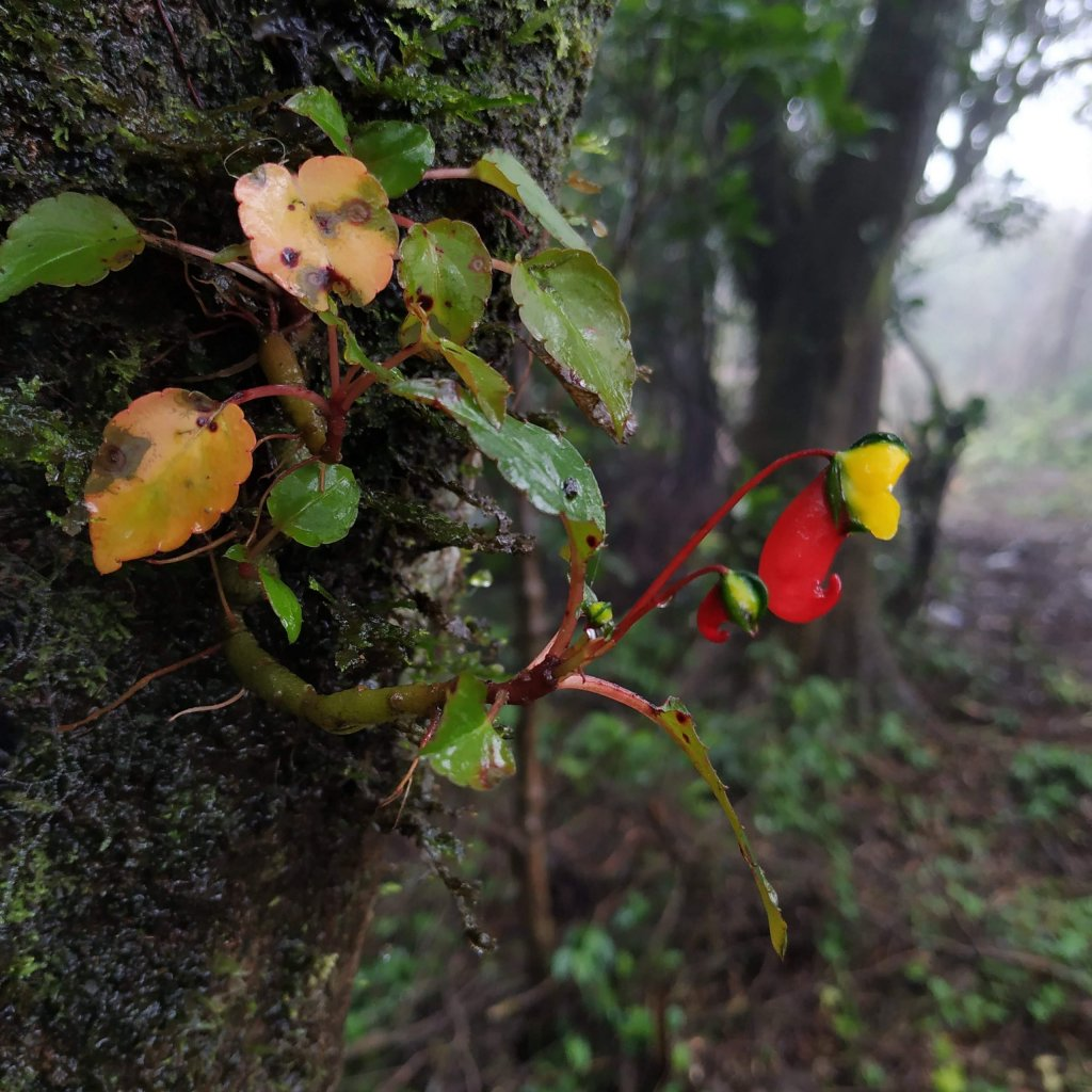 Impatiens jerdoniae on a tree - Impatiens of the Western Ghats