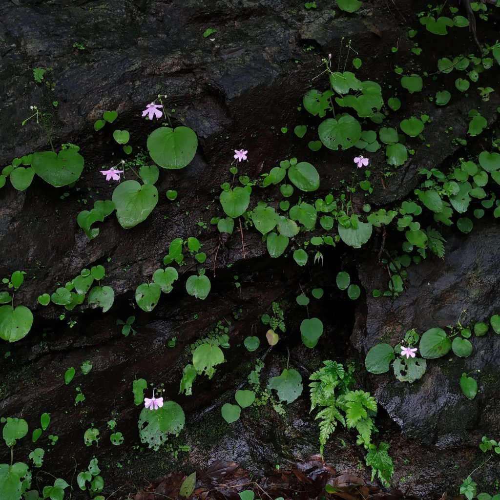 Impatiens scapiflora on a moist rock