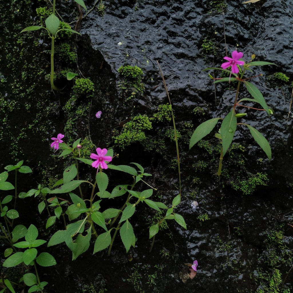 Impatiens gardneriana on a dripping rock
