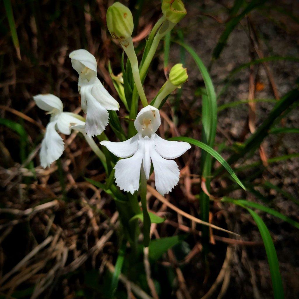 Habenaria longicornu - Velliangiri Hills