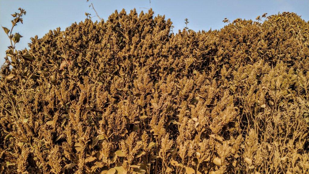 Strobilanthes kunthianus full of seeds - Velliangiri hills