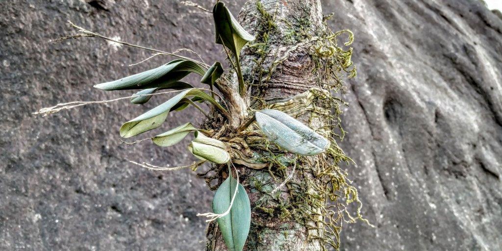 Sirhookera lanceolata left to desiccate - Velliangiri hills